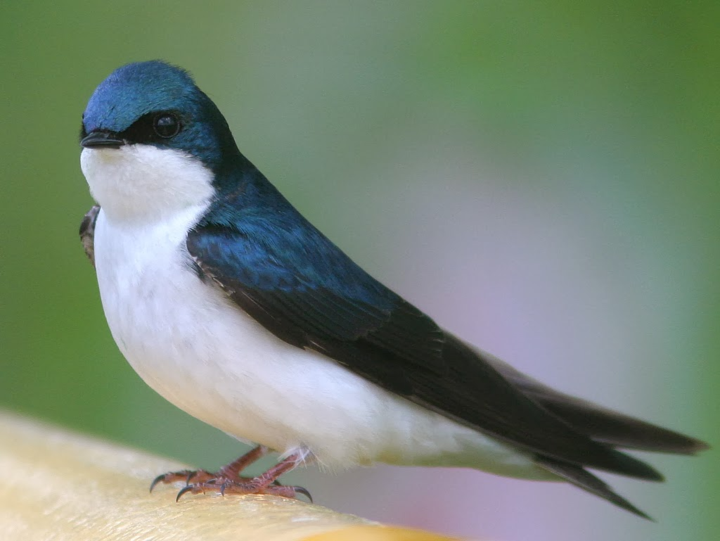 Tree Swallow Facts 47