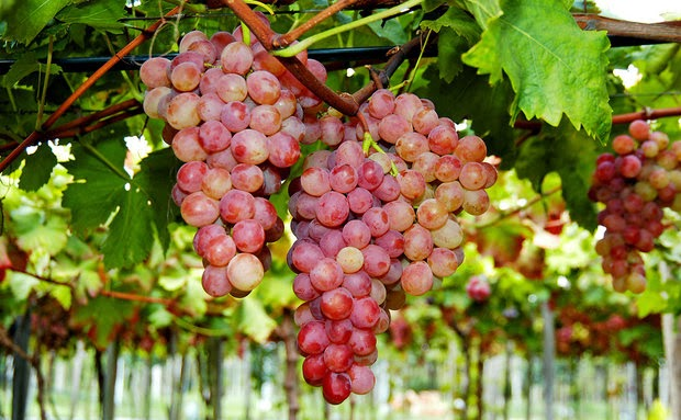 Tipos e produtores de Vinho