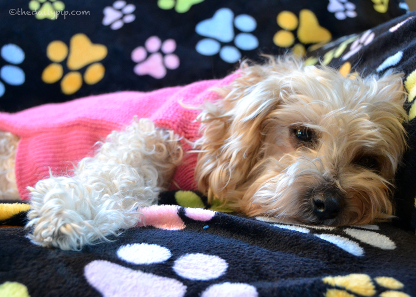 Ruby' enjoys a post holiday snooze in her new pink sweater