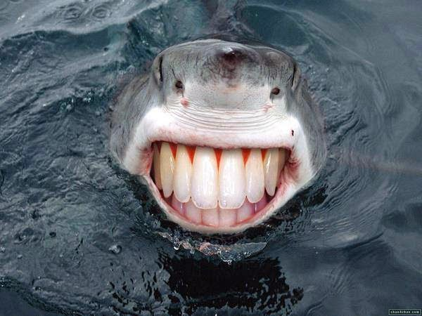 gambar ikan hiu lucu