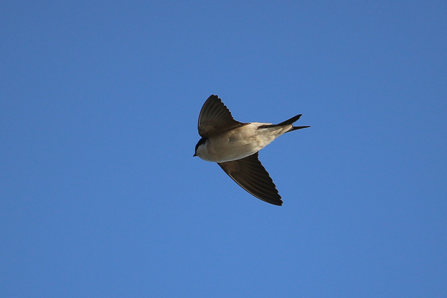 Common House Martin