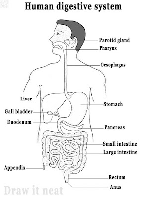 Draw it neat how to draw human digestive system slimy mucous secreted my mucous glands of stomach protect inner lining from self destruction due to acid gastric juices of stomach starts digestion of ccuart Choice Image