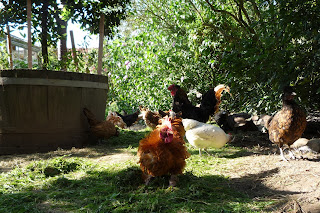Organic chickens and the importance of forage
