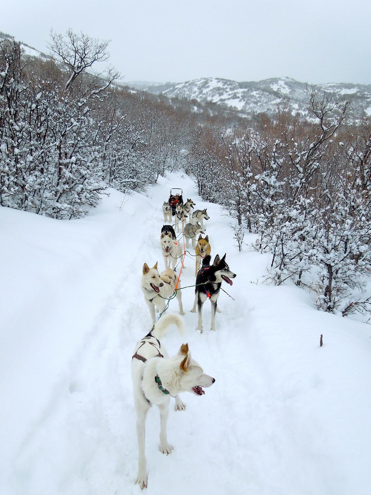 dog sledding video - HD1200×1600