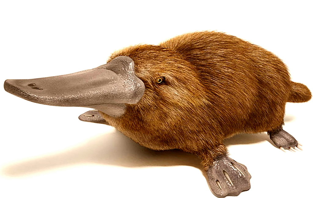 the gallery for gt egg laying mammals platypus