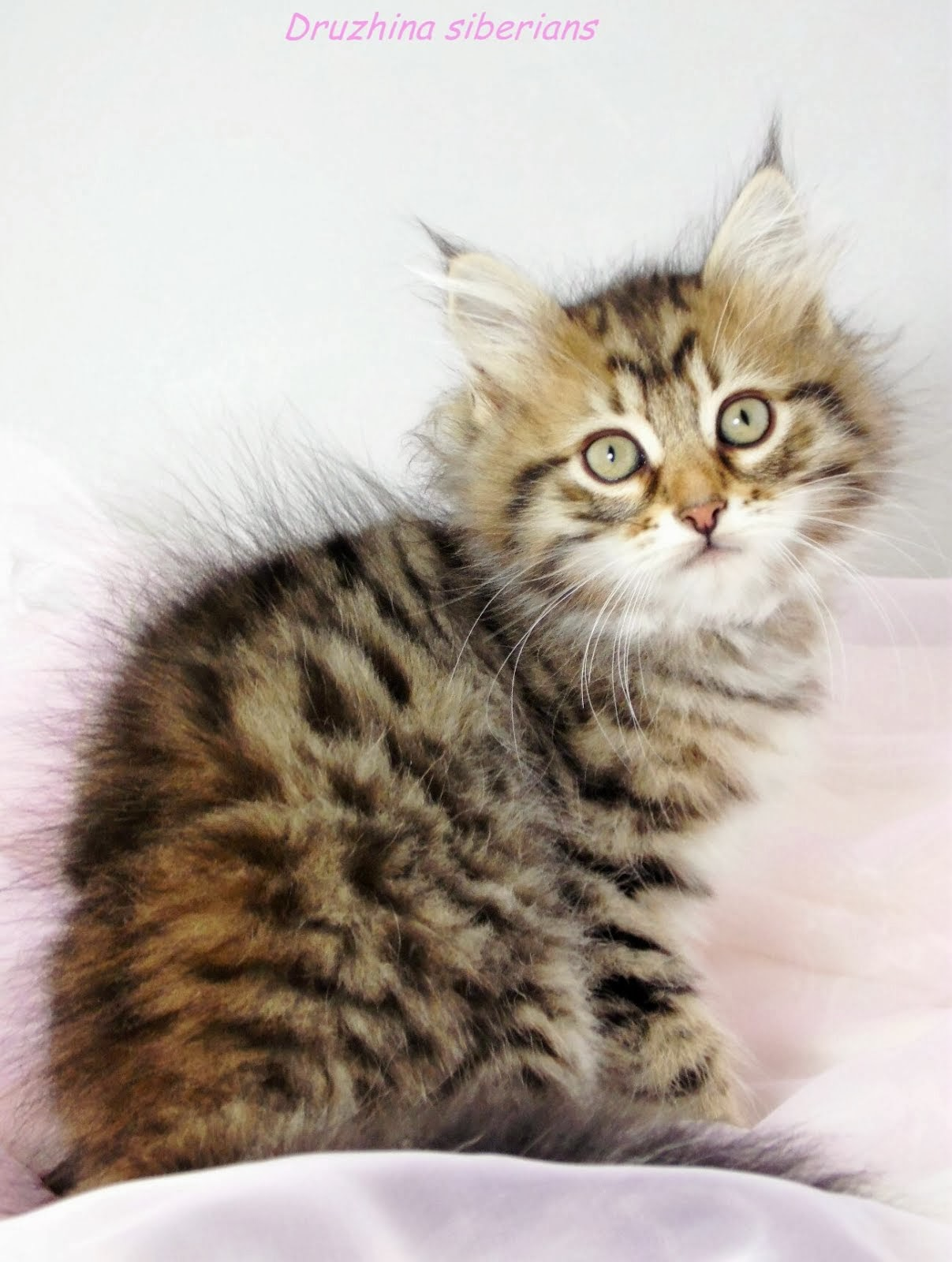 Druzhina Siberians: Available kittens ready end of July