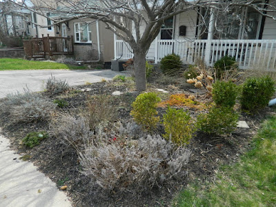 Birch Cliff Scarborough Front Yard Spring Garden Cleanup Before by Paul Jung Gardening Services a Toronto Gardening Company