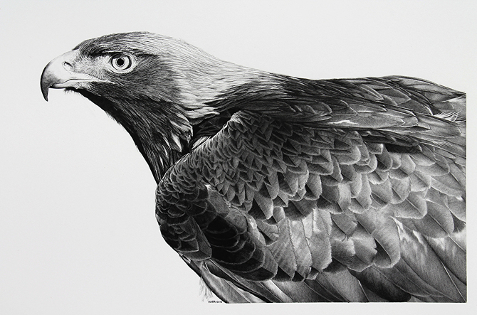 02-Golden-Eagle-William-Bill-Harrison-Majestic-Wildlife-Carbon-Pencil-Drawings-www-designstack-co