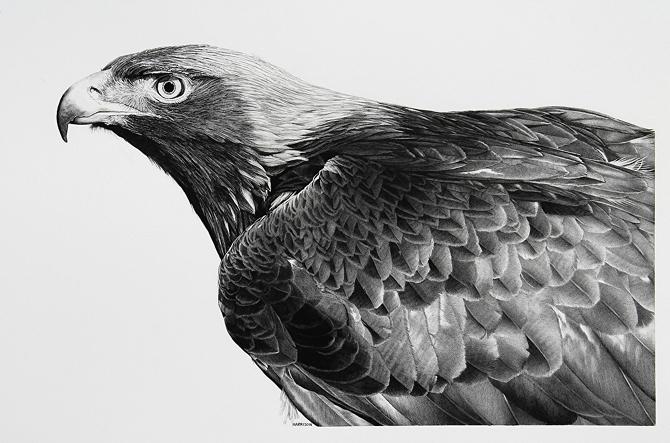 02-Golden-Eagle-William-Bill-Harrison-Majestic-Wildlife-Carbon-Pencil-Drawings-www-designstack-co