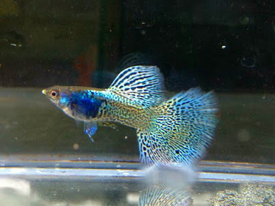 Gambar dan harga Ikan Guppy Thailand Metal Lace