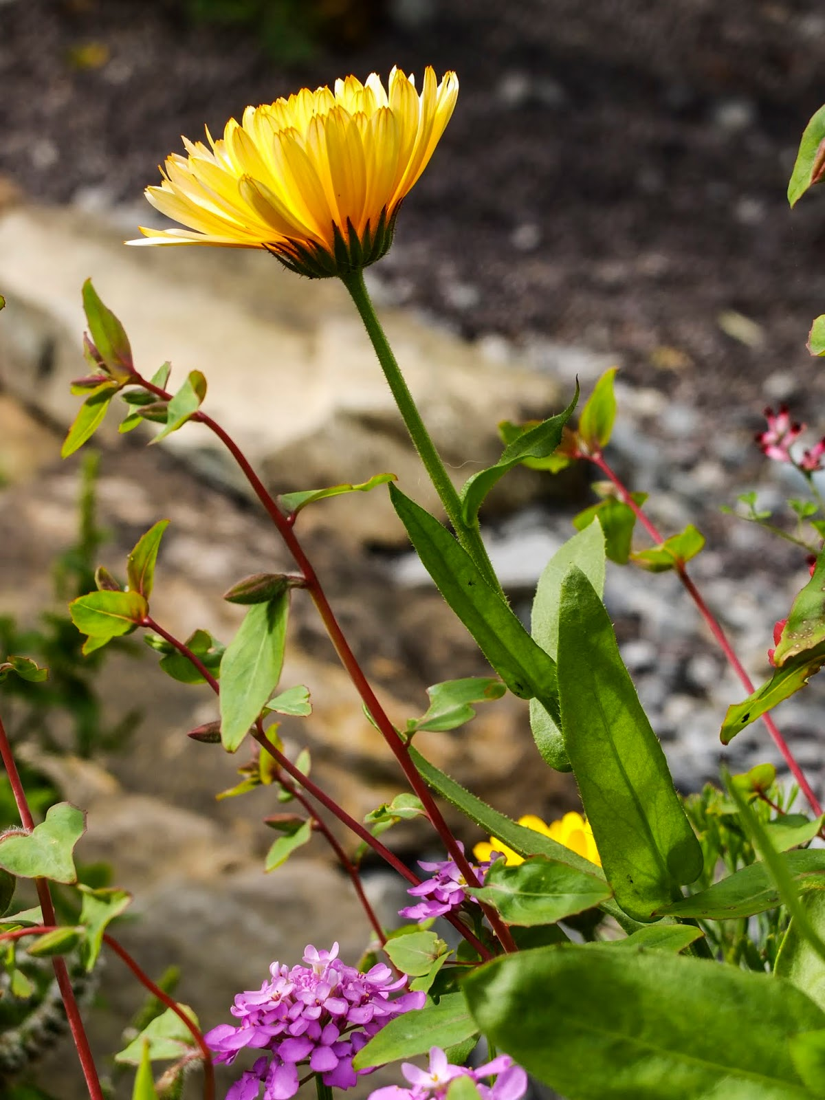 A yellow Calendula flower on a stem hanging over the edge of a flower bed.