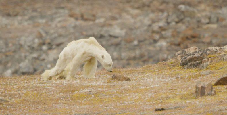 Το συγκλονιστικό βίντεο με την πολική αρκούδα που λιμοκτονεί!