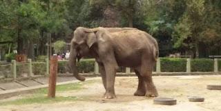sucede con una elefanta en La Plata
