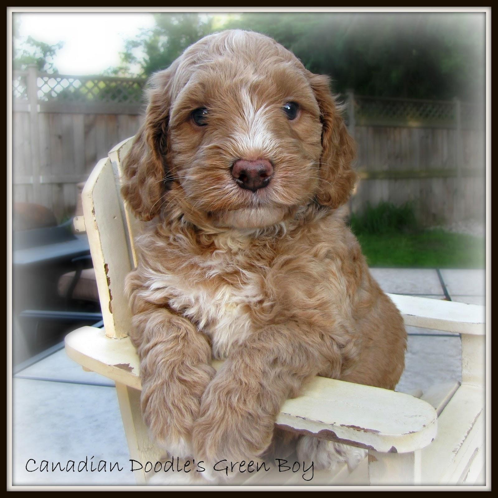 Canadian Doodle Puppies: Shiraz's pups at 5 weeks