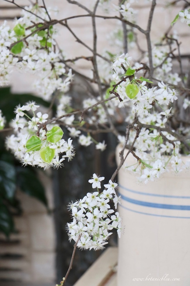 Hello Spring Pear Tree Blooms and Leaves Open Inside