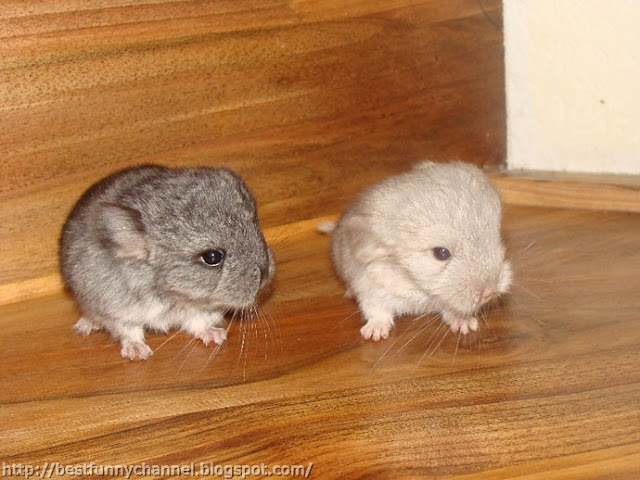 Two  chinchillas 4.