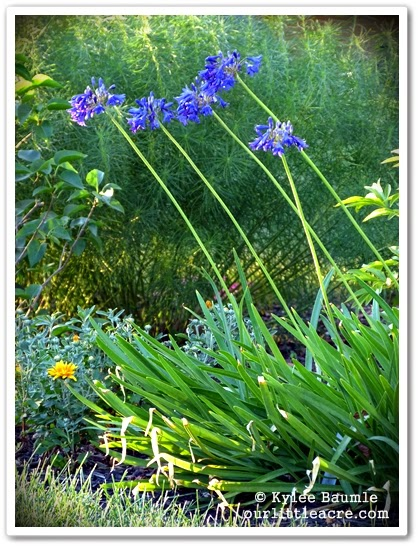Our Little Acre Yes Virginia There Is A Hardy Agapanthus