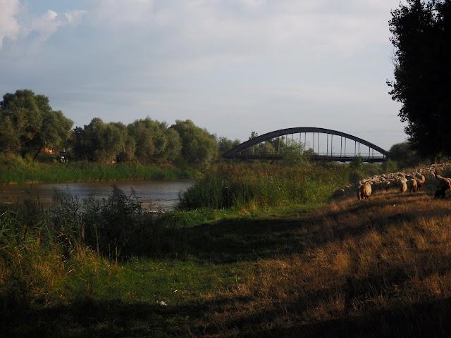 Gdzieś w środkowej Rumunii - owce przechodzące przez nasz biwak