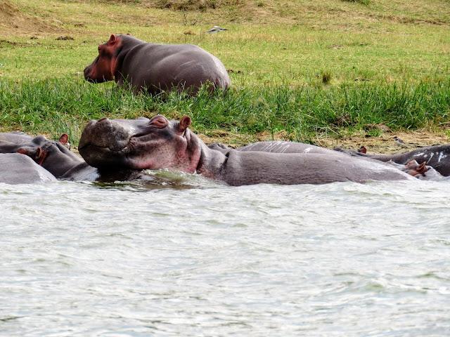 Hippos on the Kazinga Channel in Queen Elizabath National Park Uganda