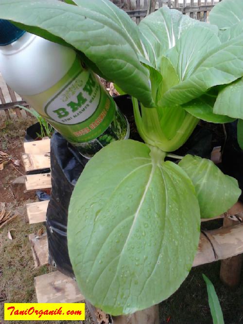 POC BMW yang memberikan rangsangan hormon tanaman pakcoy, sehingga tumbuh subur seperti ini.
