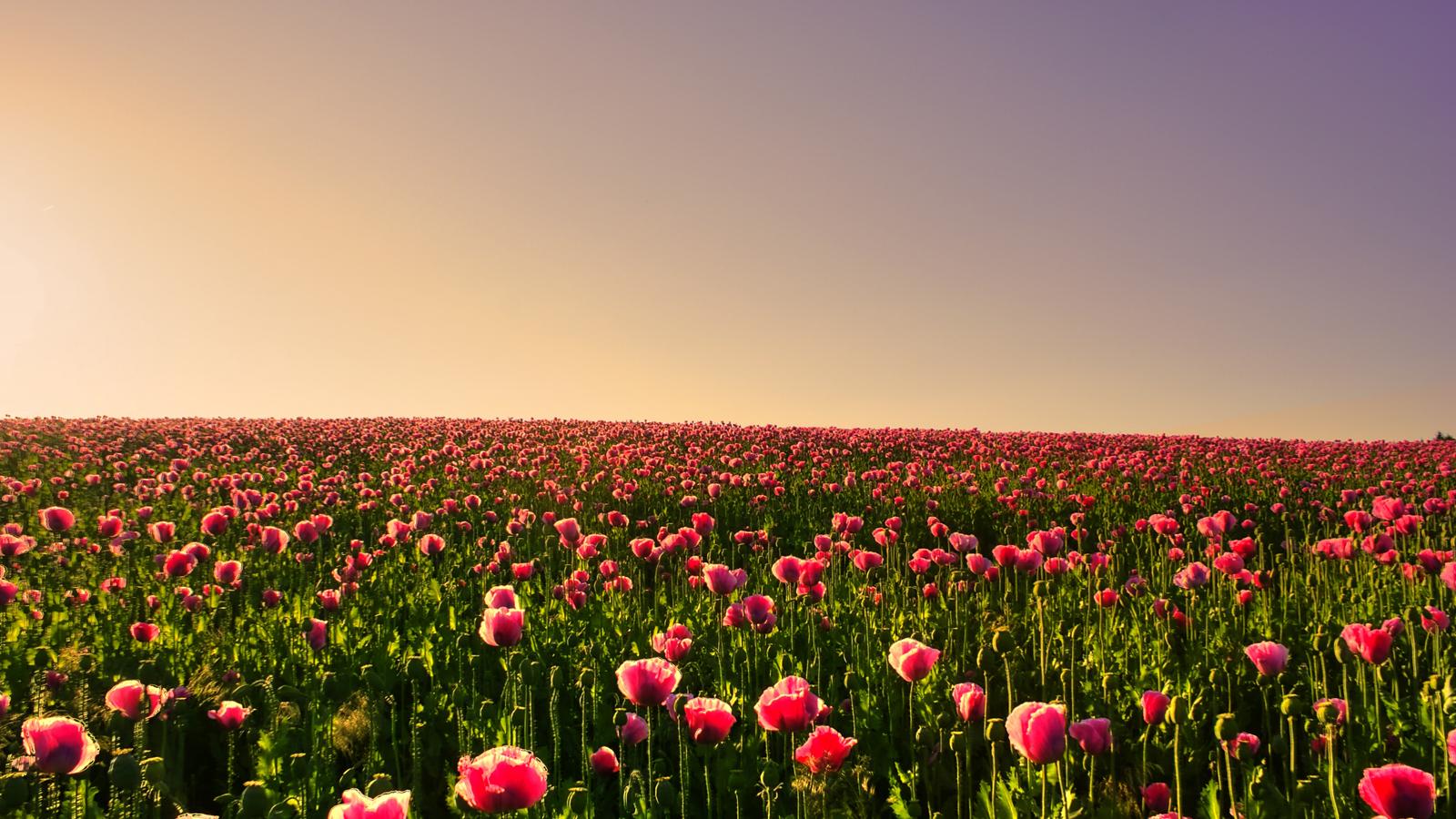 Tipstips kesehatan untuk anda 30 Wallpaper Bunga Paling