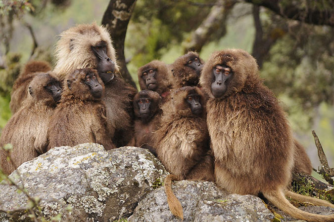 Penelitian High-Ranking Geladas Protect and Comfort Others After Conflicts