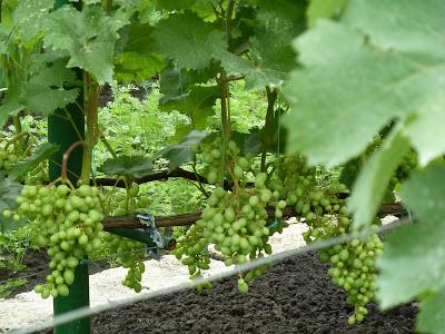 сорт винограда прометей