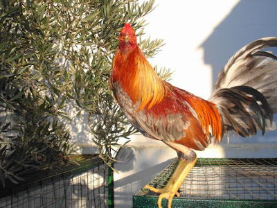 gallo ceniso