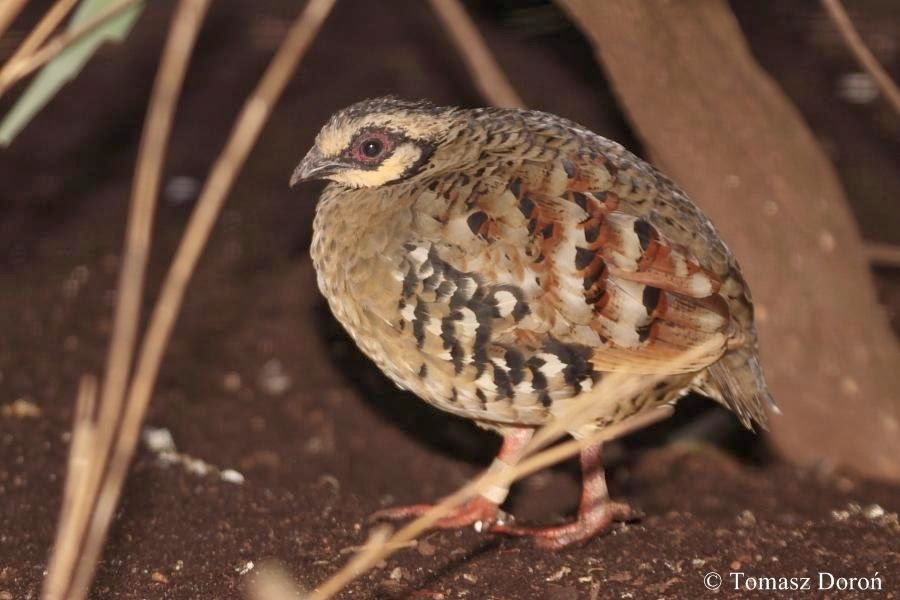 Bar backed Partridge