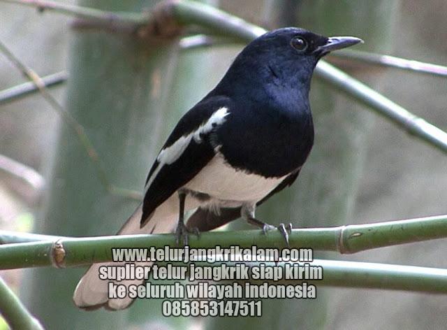 Hukum membunuh jangkrik untuk pakan burung berdasarkan Islam Order WA 0858-5314-7511 Hukum membunuh jangkrik untuk pakan burung berdasarkan Islam?