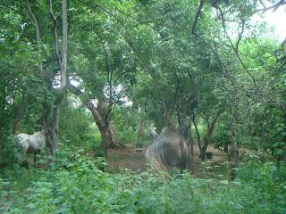 safari, hevonen,botswana, leiri