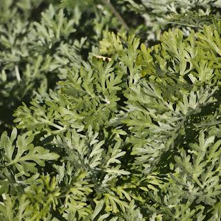 Artemisia Absyntium assenzio