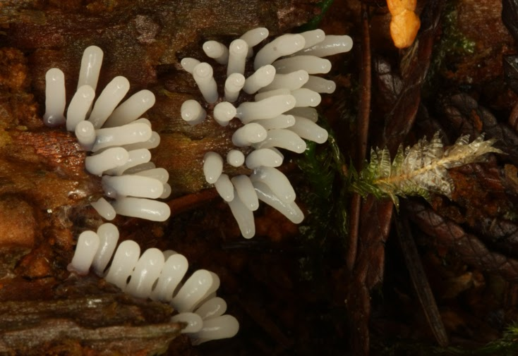 Tiny shiny white fingers of a slime mold erupt from a log along the Cowichan River.