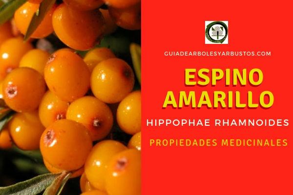 El espino amarillo, Hippophae rhamnoides, tiene propiedades medicinales estupendas gracias a su contenido en Omega 7