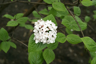 Viorne de Carles - Viburnum carlesii 'Aurora'