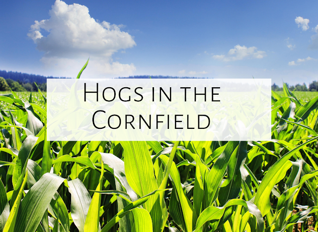 Hogs in the Cornfield
