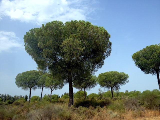 Pinos de Doñana