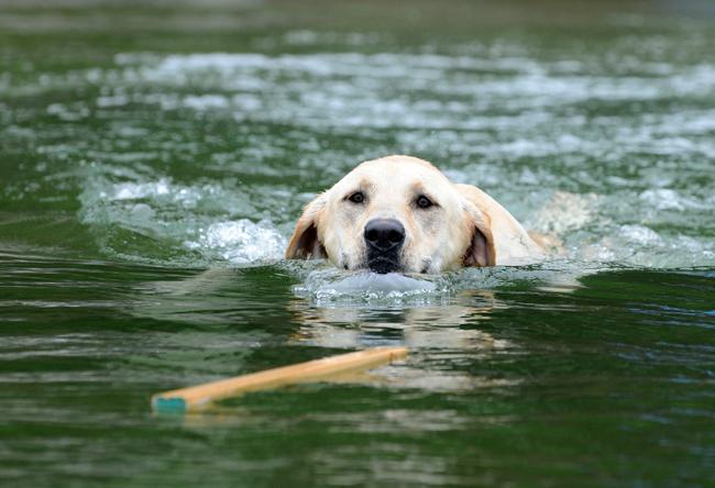 Jak nauczyć psa pływać
