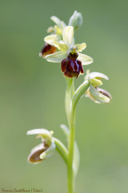 Orquídea Ophrys sphegodes