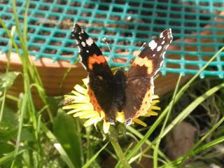 mariposa vanessa posada en una flor amarilla.