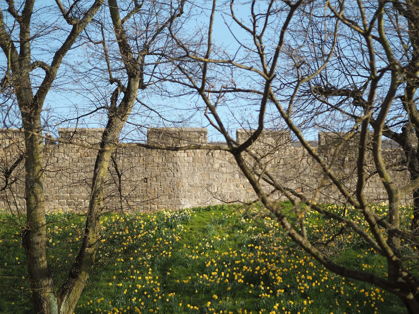 daffodils and York city walls