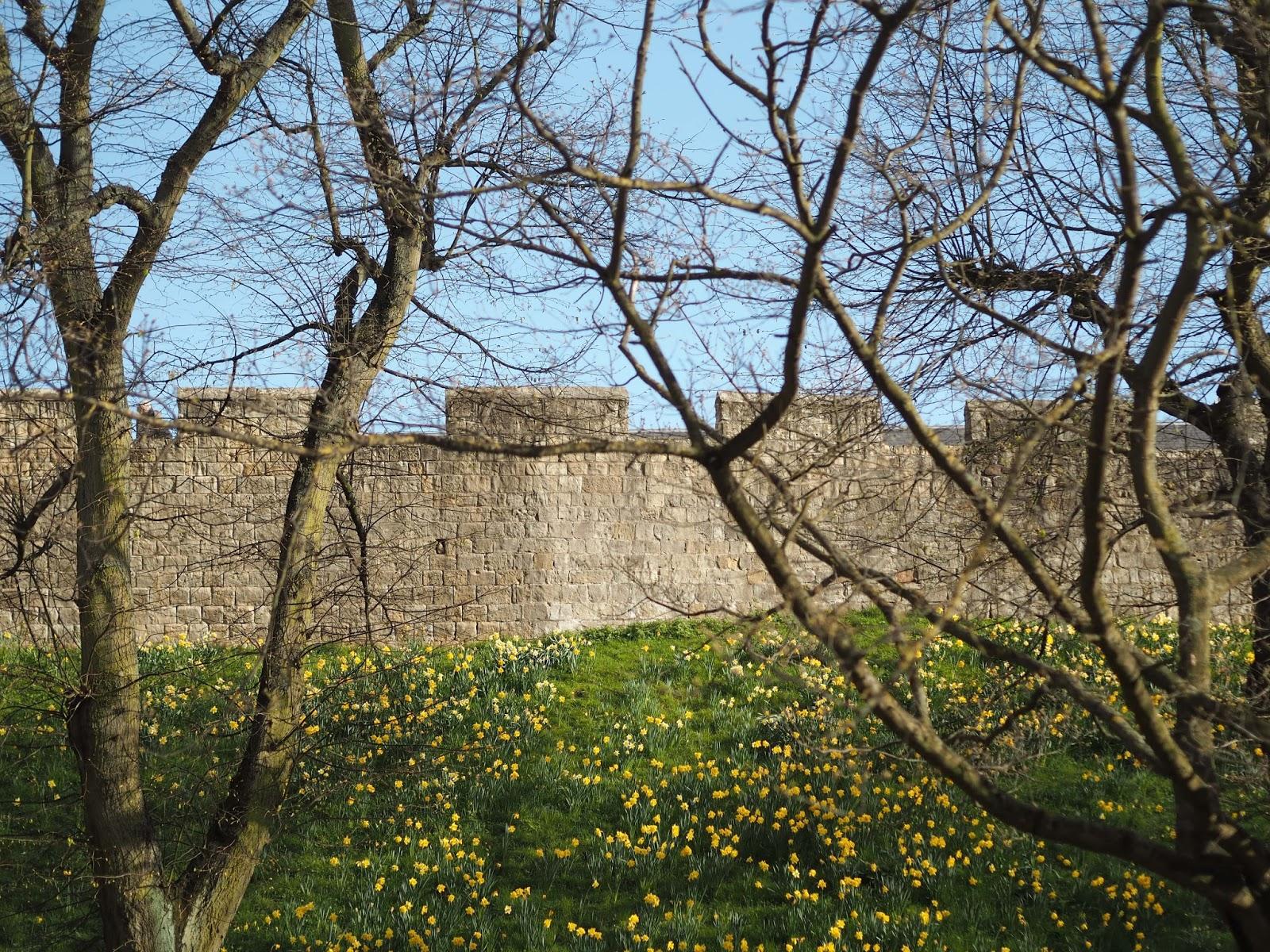 daffodils and York city walls