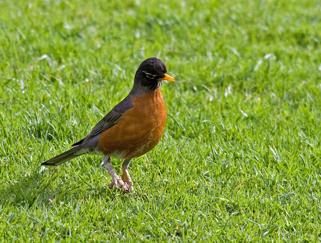 American Robin with scaly mite leg infection