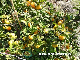 収穫が近いミカンの木