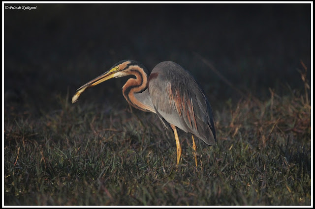 Purple Heron with catch at Bharatpur
