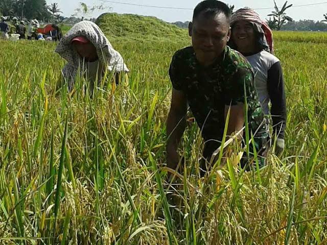 Musim Panen di Tanjung Balai, Babinsa Turut Serta Dampingi Petani