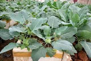 Hướng dẫn trồng một số loại rau vụ đông tại nhà