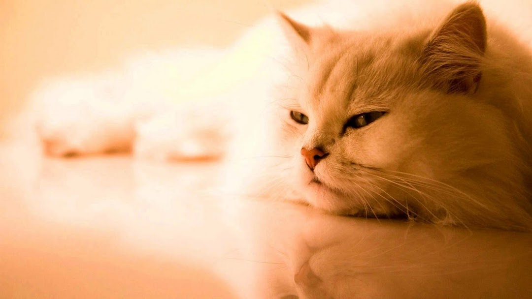 Cat hd wallpaper 8