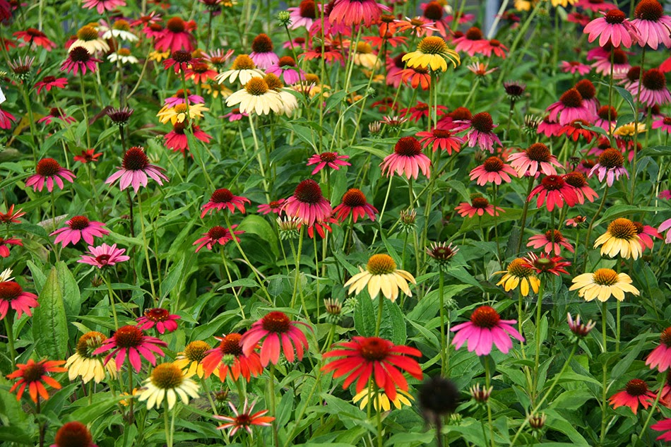 I fiori delle praterie for Piante e fiori perenni