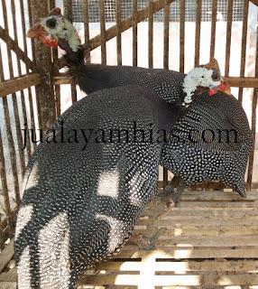 Ayam Mutiara Dewasa Sepasang